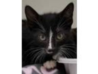 Adopt Butter a All Black Domestic Shorthair / Domestic Shorthair / Mixed cat in