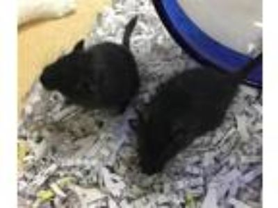 Adopt Twizzler - Companion To Licorice a Gerbil small animal in Stratham