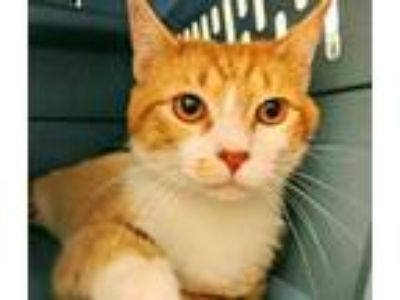 Adopt Oscar a Orange or Red Domestic Shorthair / Domestic Shorthair / Mixed cat