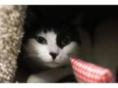 Adopt Lucy in the Sky a Domestic Short Hair