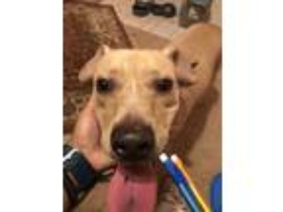 Adopt Sunny Bear a Tan/Yellow/Fawn Labrador Retriever / Beagle / Mixed dog in
