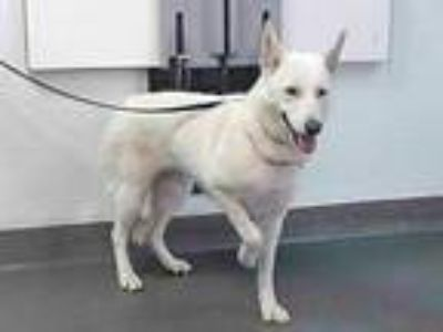 Adopt 20-00940 a German Shepherd Dog