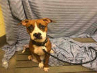 Adopt LOUIE a Brown/Chocolate - with White Boxer / Mixed dog in Upper Marlboro