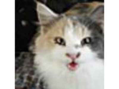 Adopt Jacey a Domestic Long Hair