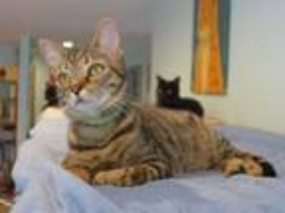 Adopt Gadget a Domestic Short Hair