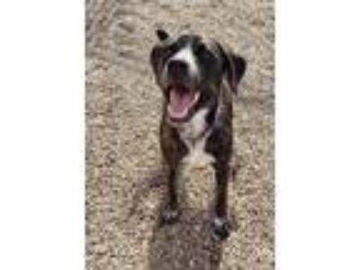 Adopt Nibbler AKA Sam a Brindle - with White Plott Hound / Mixed dog in