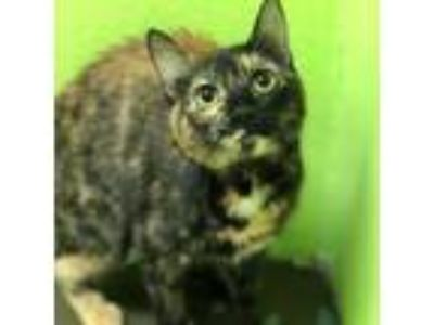 Adopt Tortoise a Domestic Short Hair