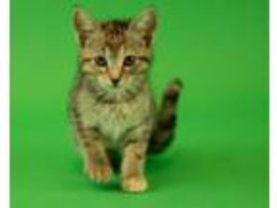 Adopt Jiggles a Domestic Short Hair