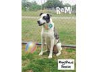 Adopt Remi a Great Pyrenees, Staffordshire Bull Terrier
