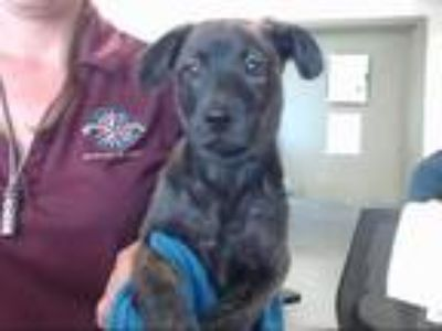 Adopt a Brindle Plott Hound / Mixed dog in Pasadena, TX (25898323)