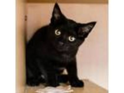 Adopt Robinson Crusoe a All Black Domestic Shorthair cat in Kettering