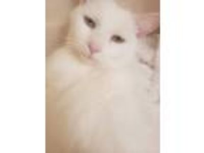 Adopt Svetlana a Domestic Medium Hair