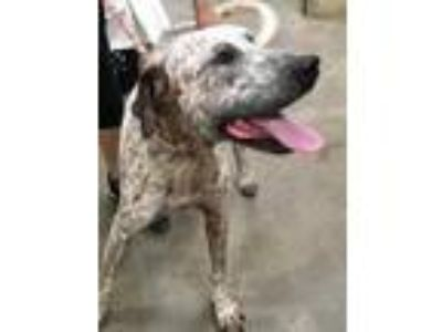Adopt Jorge a White German Shorthaired Pointer / Mixed dog in Lihue