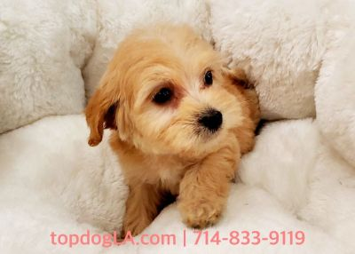 Maltipoo Puppy - Male - Angus ($1,299)