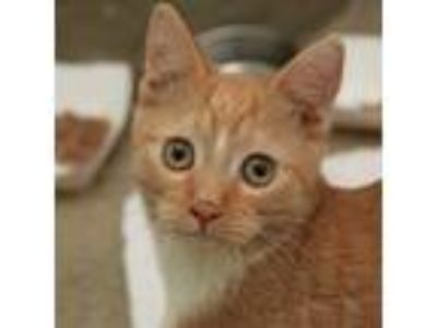 Adopt Tess a Orange or Red Domestic Shorthair / Domestic Shorthair / Mixed cat
