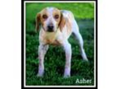 Adopt Asher a White Beagle / Mixed dog in Sullivan, IN (25861769)