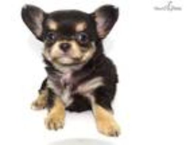 George Long Haired Apple head Male Chihuahua