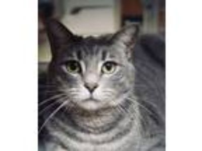 Adopt Baby a Gray or Blue Domestic Shorthair (short coat) cat in Manhattan