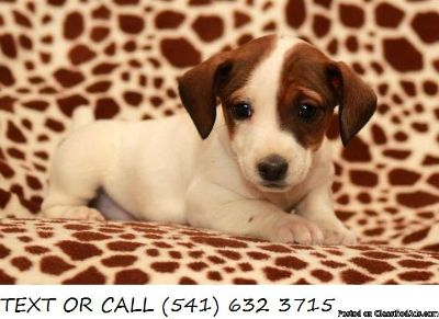 Respectable$!*Jack Russell Terrier Puppies For Sale