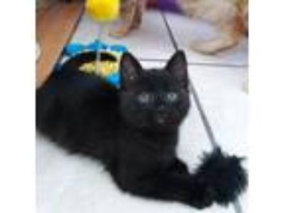 Adopt Poppy a All Black Domestic Shorthair cat in Los Angeles, CA (25648423)