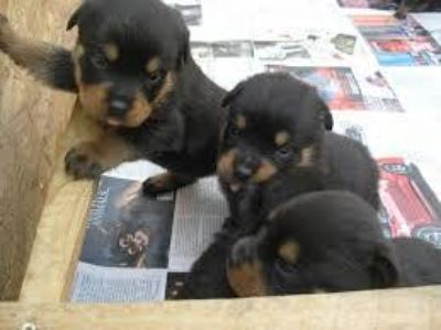 yyehheb Male and female Rotweiller Puppies