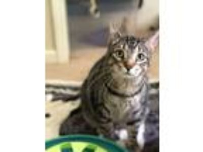 Adopt Schipp a Domestic Short Hair, Bengal