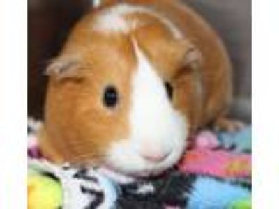 Adopt 30013 - Toffee a Guinea Pig small animal in Ellicott City, MD (25331069)