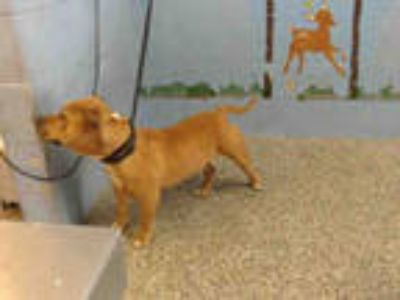 Adopt CHU CHO a Brown/Chocolate American Pit Bull Terrier / Mixed dog in San