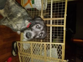 Irish Wolfhound PUPPY FOR SALE ADN-80495 - 2 beautiful girls for sale