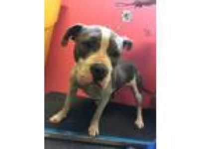Adopt CICI a Pit Bull Terrier