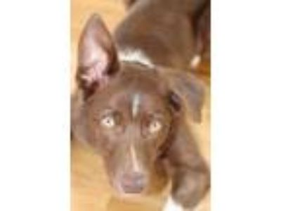 Adopt Cruz a Brown/Chocolate - with White Border Collie dog in East Amherst