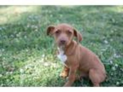 Adopt Tuesday a Brown/Chocolate - with White Jack Russell Terrier / Dachshund /