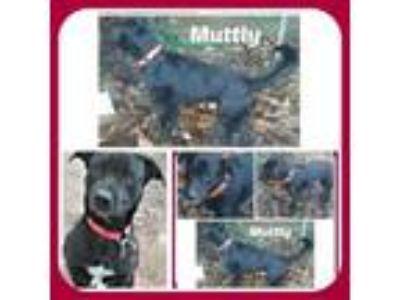 Adopt MUTTLY a Labrador Retriever