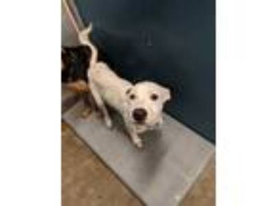 Adopt 41934372 a White American Pit Bull Terrier / Mixed dog in Fort Worth