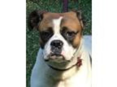 Adopt Monkey Bailey a Boxer
