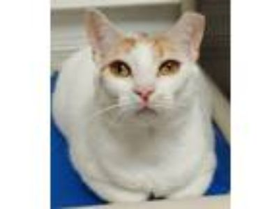 Adopt Amber Tamblyn a Domestic Short Hair
