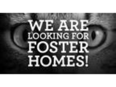 Adopt FOSTER HOME NEEDED a Orange or Red Domestic Shorthair (short coat) cat in