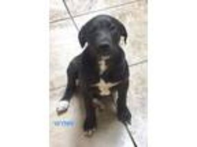 Adopt Wonderful Wynn a Labrador Retriever