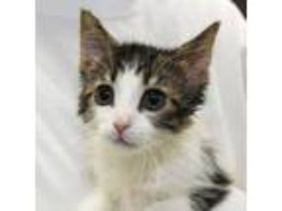 Adopt Coffee Cake a White Domestic Shorthair / Domestic Shorthair / Mixed cat in