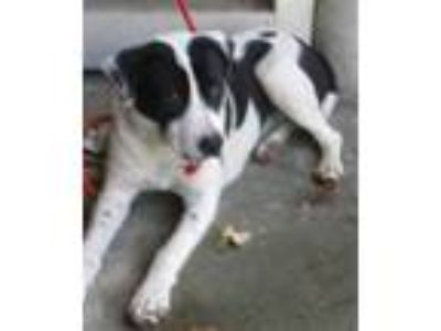 Adopt FIONA a Black - with White Border Collie / German Shorthaired Pointer /