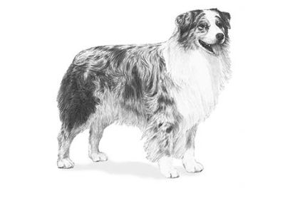 Gorgeous Australian Shepherd Puppy boy with multiple Champion sire