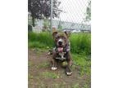 Adopt Baez a Brindle - with White Pit Bull Terrier / Mixed Breed (Medium) /