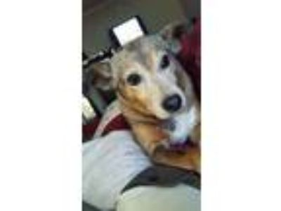 Adopt Scout a Tricolor (Tan/Brown & Black & White) Catahoula Leopard Dog / Mixed