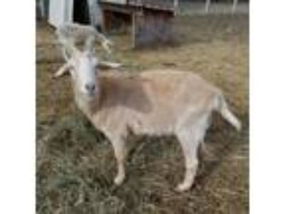 Adopt Alfie a Goat farm-type animal in Woodstock, IL (21791968)