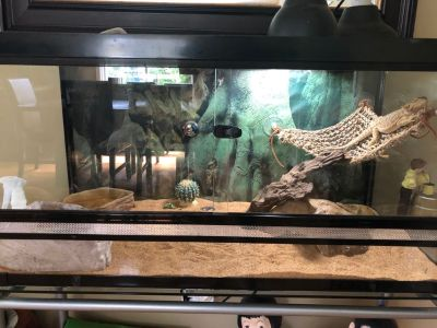 2 bearded dragons with aquarium $400