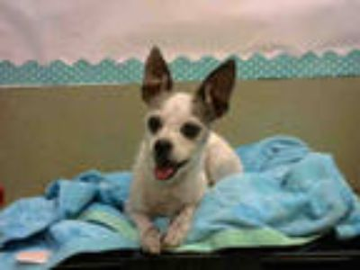 Adopt a White Terrier (Unknown Type, Medium) / Mixed dog in Moreno Valley