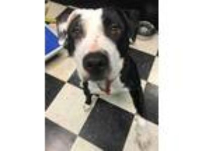 Adopt Oreo a Pit Bull Terrier, American Staffordshire Terrier
