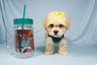 Cream & White Teacup Poodle Puppies in Las Vegas!