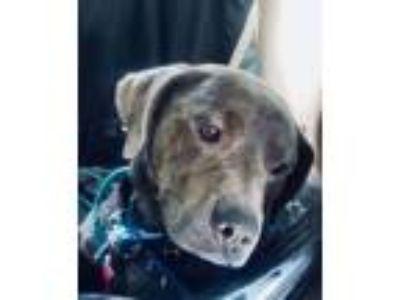 Adopt Bailey a Plott Hound, Hound