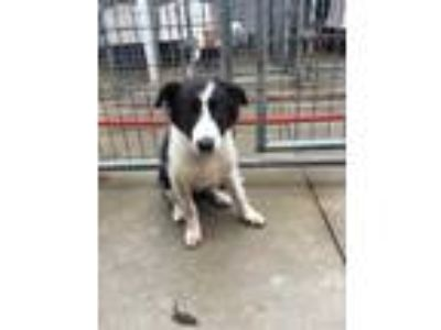 Adopt 41990482 a Black Collie / Mixed dog in West Monroe, LA (25610442)